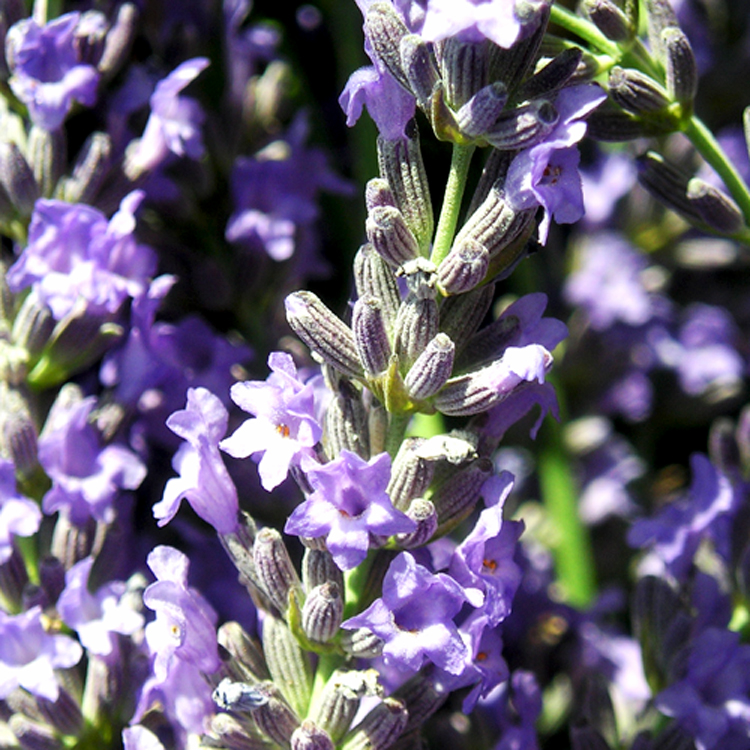 "<a href=""http://carbonnel.com/fragrances/#fragrance-essential-oils"">ESSENTIAL OILS</a>"